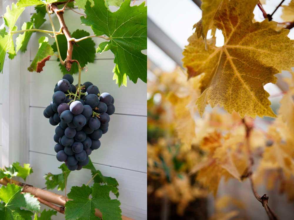 Vinplantan under sommar och höst.