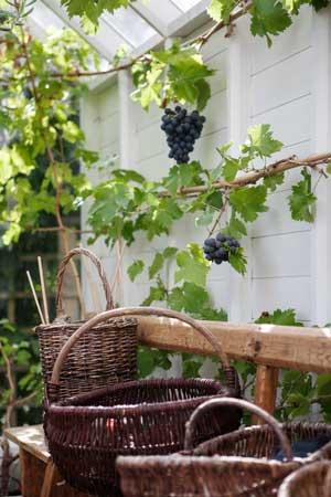 Vinplanta med frukt i växthuset.