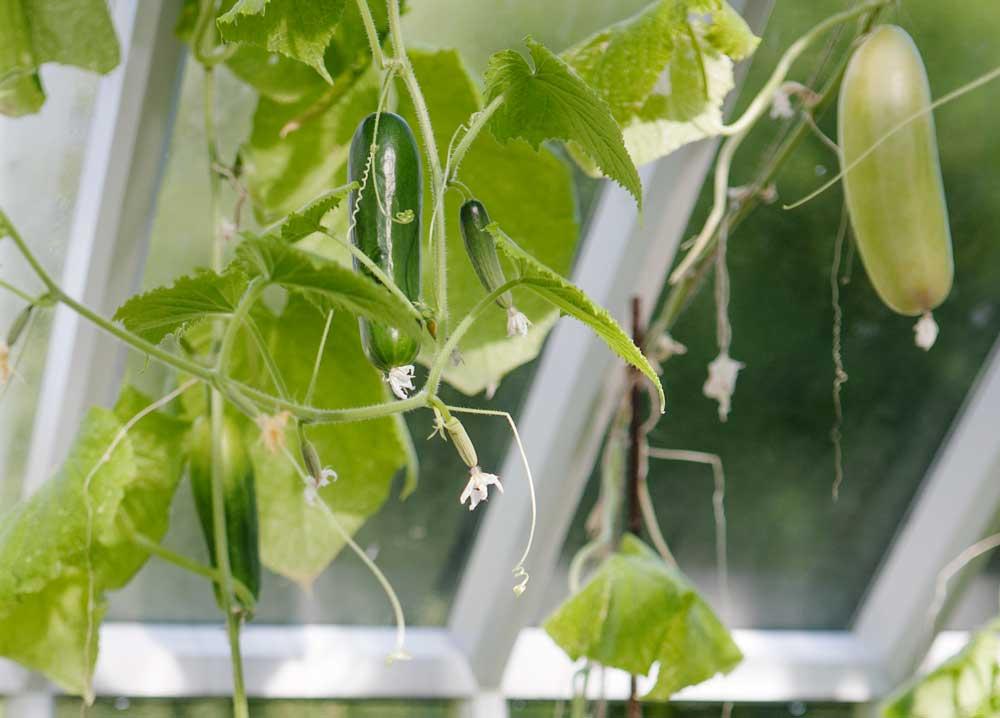 Gurkorna frodas i växthuset.