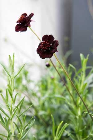 Chokladblomman är en oemotståndlig växt i växthuset.