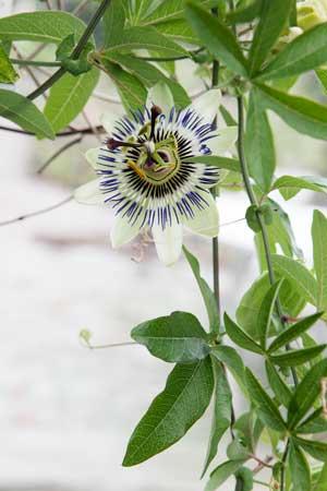 Passionsblomman som forfarande blommar i växthuset.