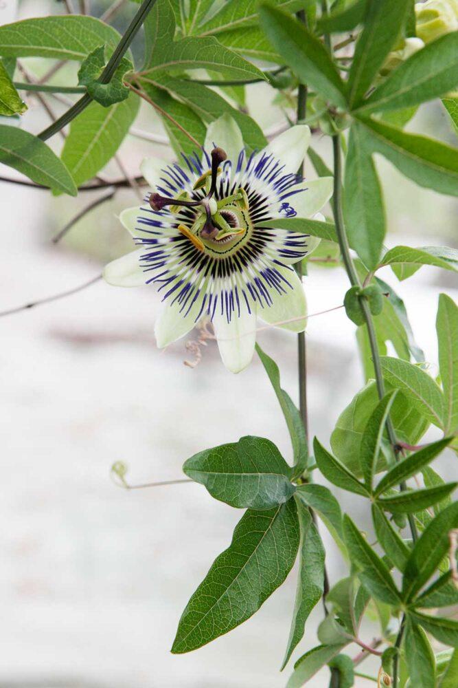En utslagen passionsblomma från växthuset i Nacka