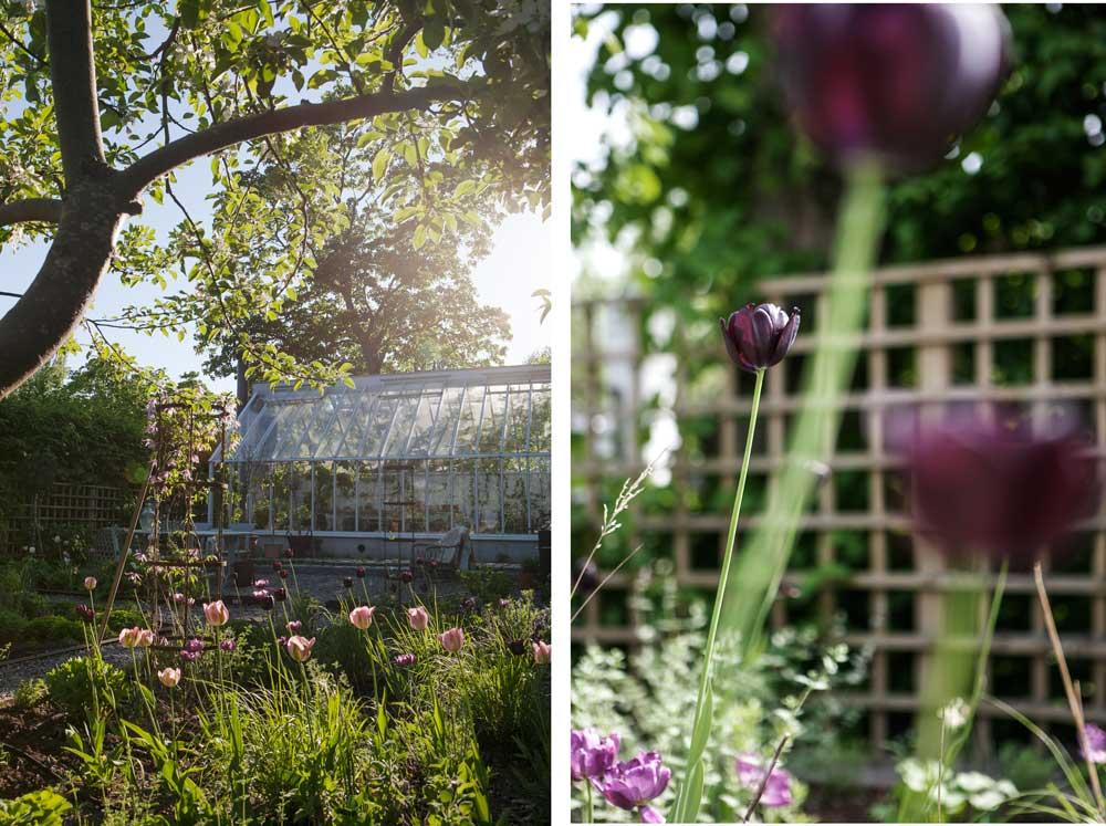 tulpanblomning utanför växthuset i våras och våren innan.