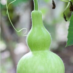 Kalebass i grön färg