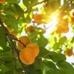 Odla aprikoser