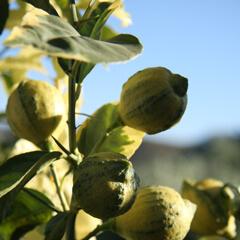 Sköta citronträd