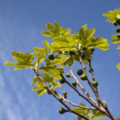 sköta fikonträd