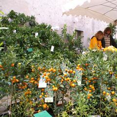 Kumquat i Spanien