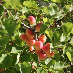 Persika i växthus