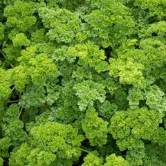 Persilja i växthus
