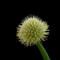Blomma - salladslök
