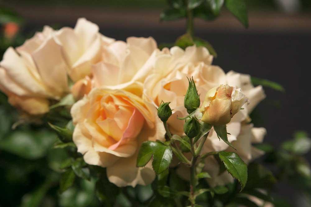 Årets ros är den aprikosrosa floribunada-rosen Hansestadt Rostock.