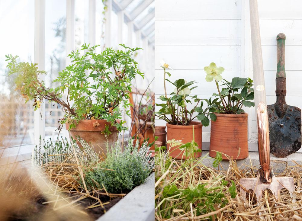 Halm runt växterna i växthuset.