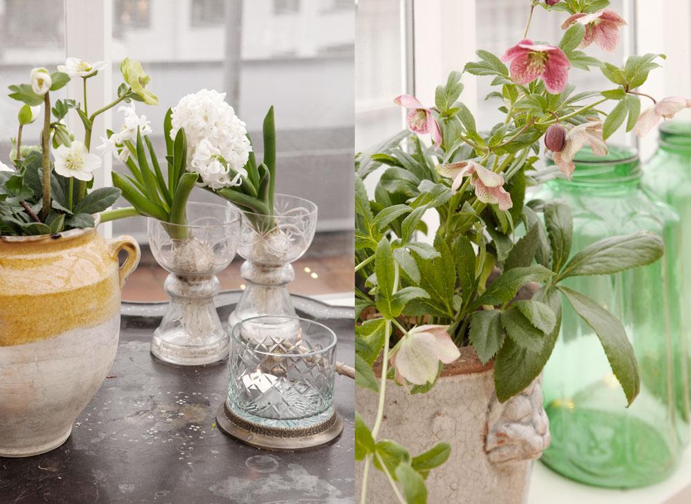 julrosor och hyacinter i växthusinredningen till advent.