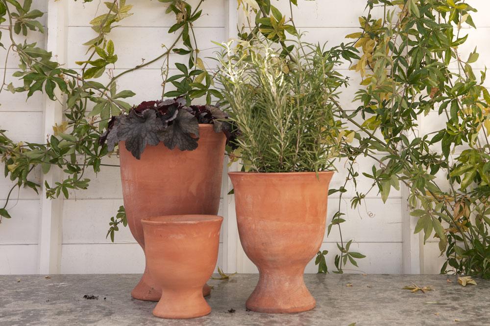 Alunrot och rosmarin krukor på fot som inredning i växthuset.