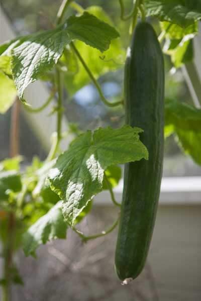 Gurka i ett växthus