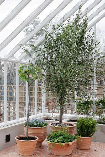 Olivträd i ett växthus
