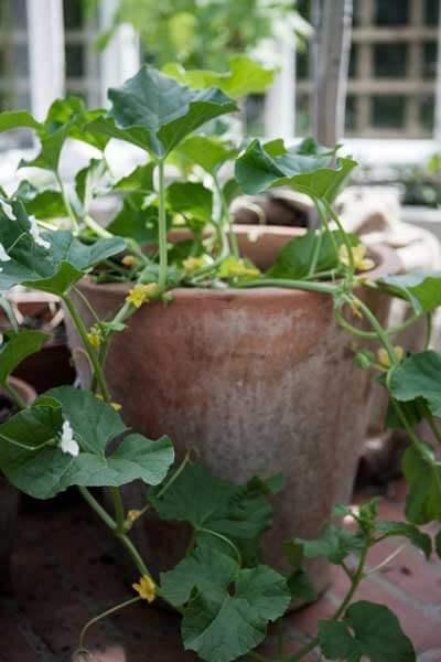 Melon i en kruka i ett växthus