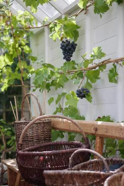 Vindruvor i ett växthus