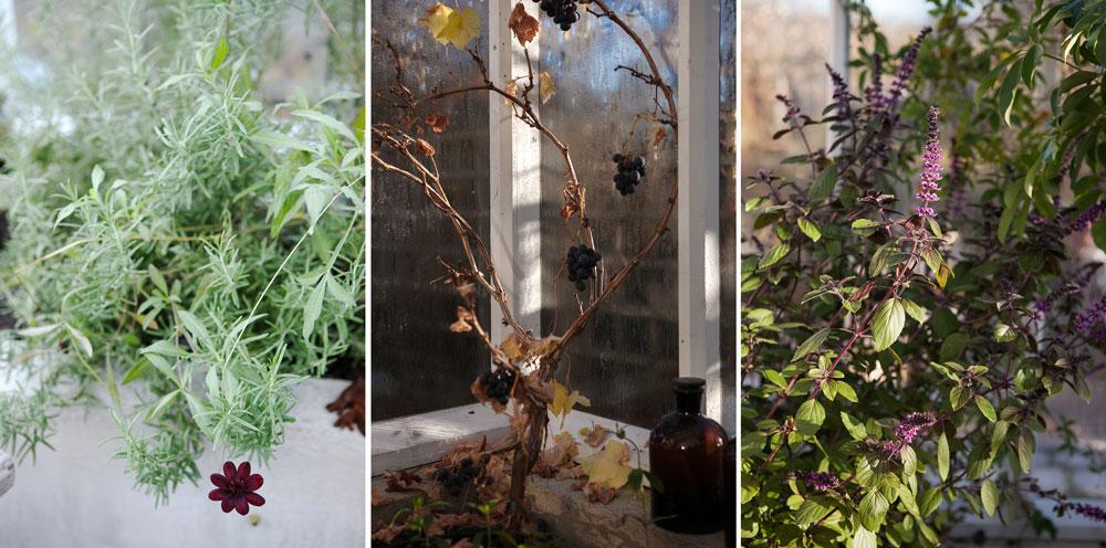 Tre växter som skapar stämning i växthuset, chokladblomma, vin och basilika.