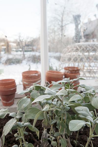 vinter i vaxthuset