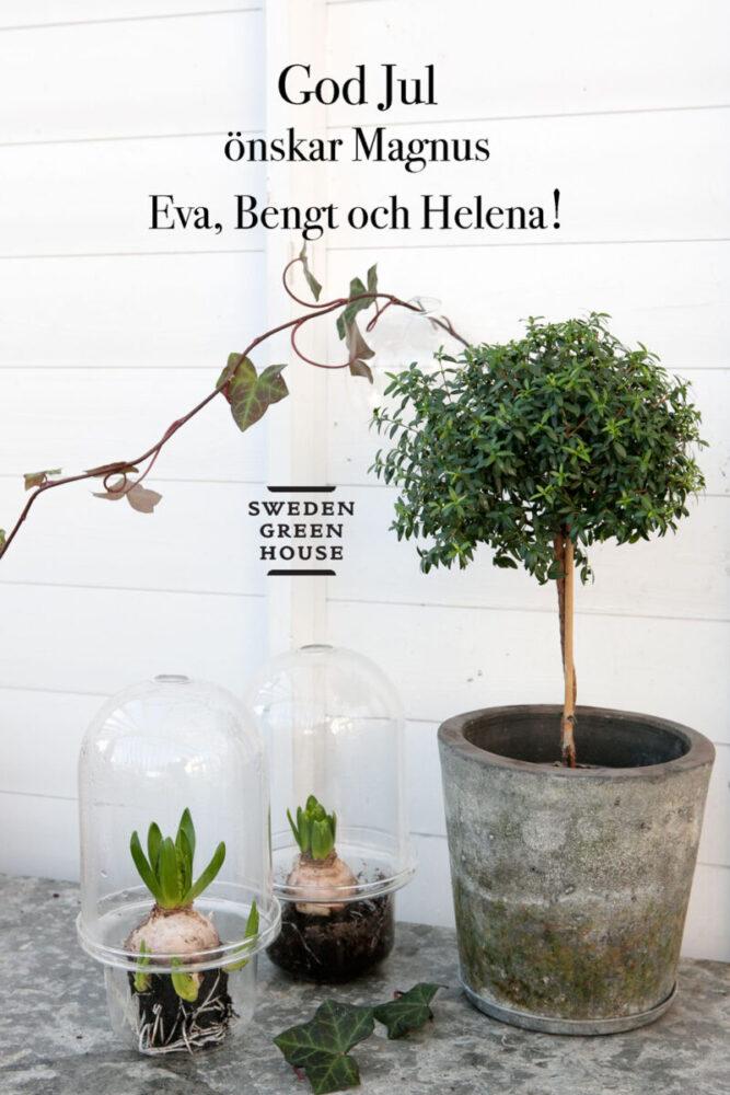 Stilleben med hyacinter och myrten som julkort från oss till er alla.