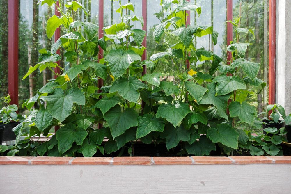 Upphöjd oldingsbädd med tegelkant i växthus.