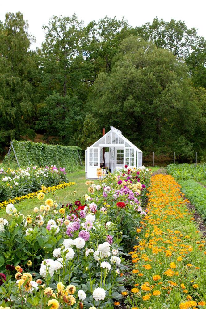 Växthus bland zinnia
