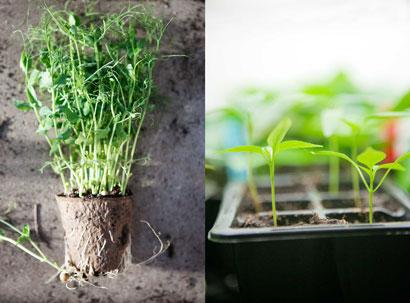 Skirt gröna småplantor redo att planteras i växthuset.