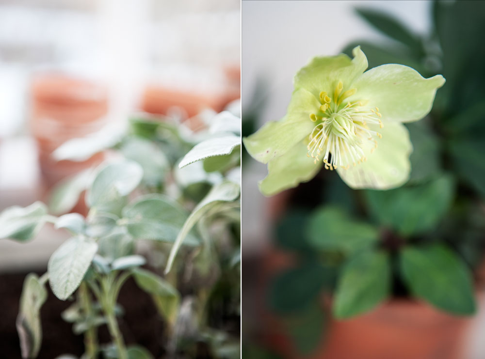 Växter i växthuset så här års är salvia och julros.