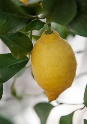 Citron i växthuset.
