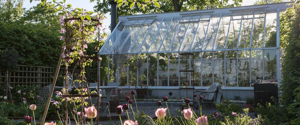 Växthus med rosa tulpaner