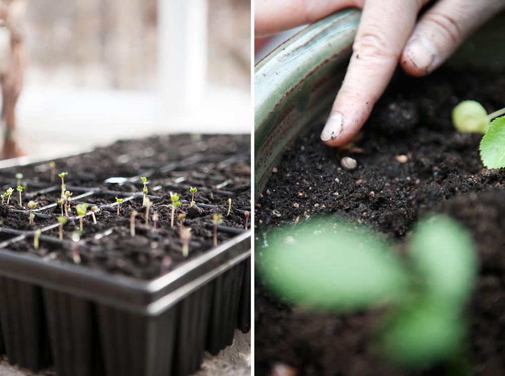 Småplantor i brätte som gror i växthuset.