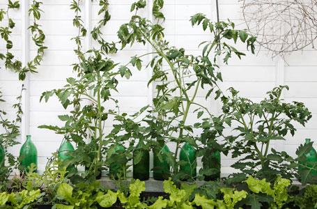 Tomatplantor på rad i växthuset i år.