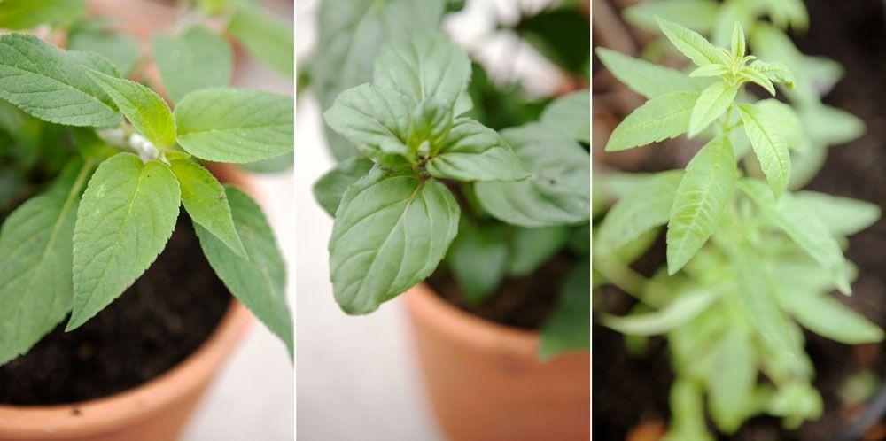Kryddväxter i kruka på växthusets bord.