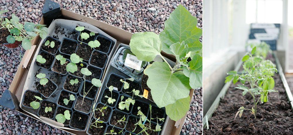 Plantor till växthus.