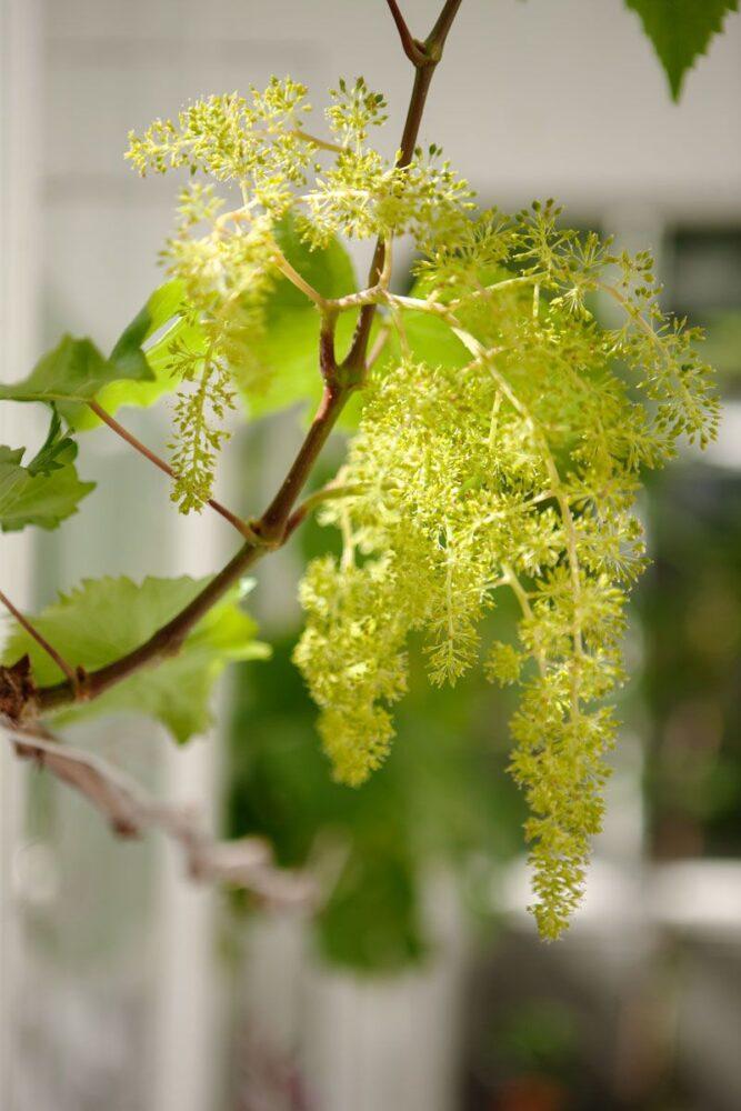 Vinblomma i växthus.