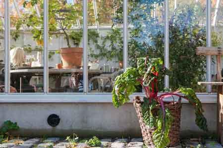 Mangold i korg framför växthus i trä och glas.