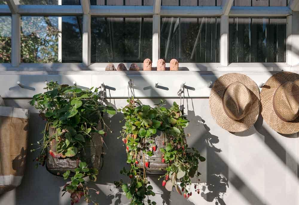 Knopphängare med upphängda stråhattar och jordgubvsplantor i växthus.