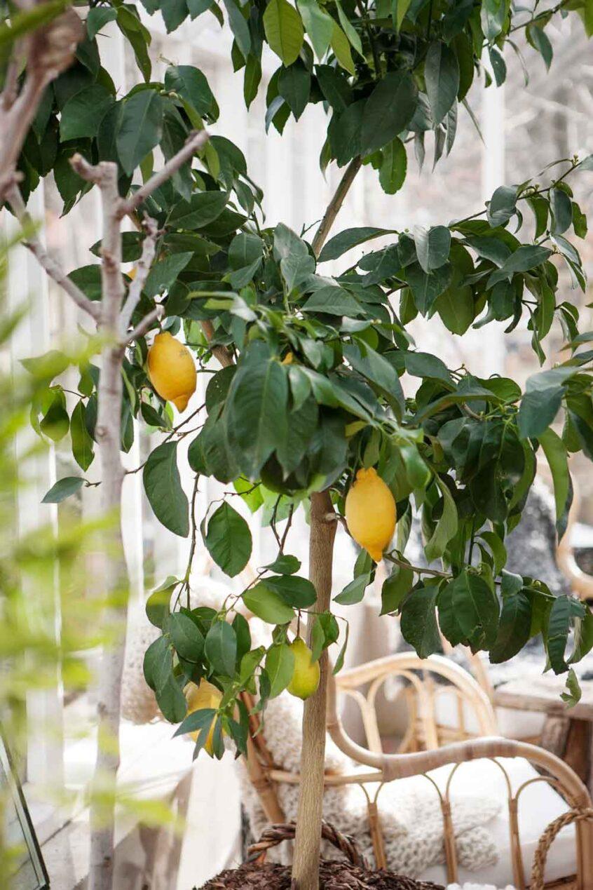 Ett stort träd med citroner i träväxthus.