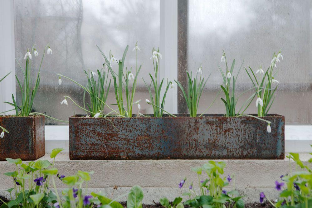 Snödroppar i kruka och violer i jordbädd.