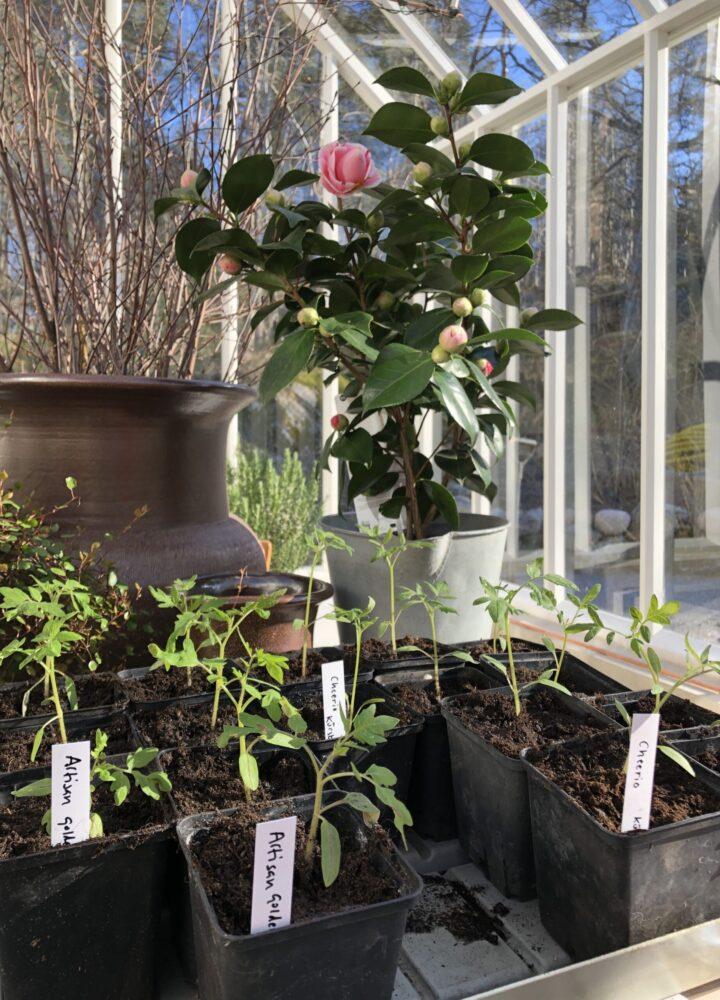Kamelia och små tomatplantor i växthus.