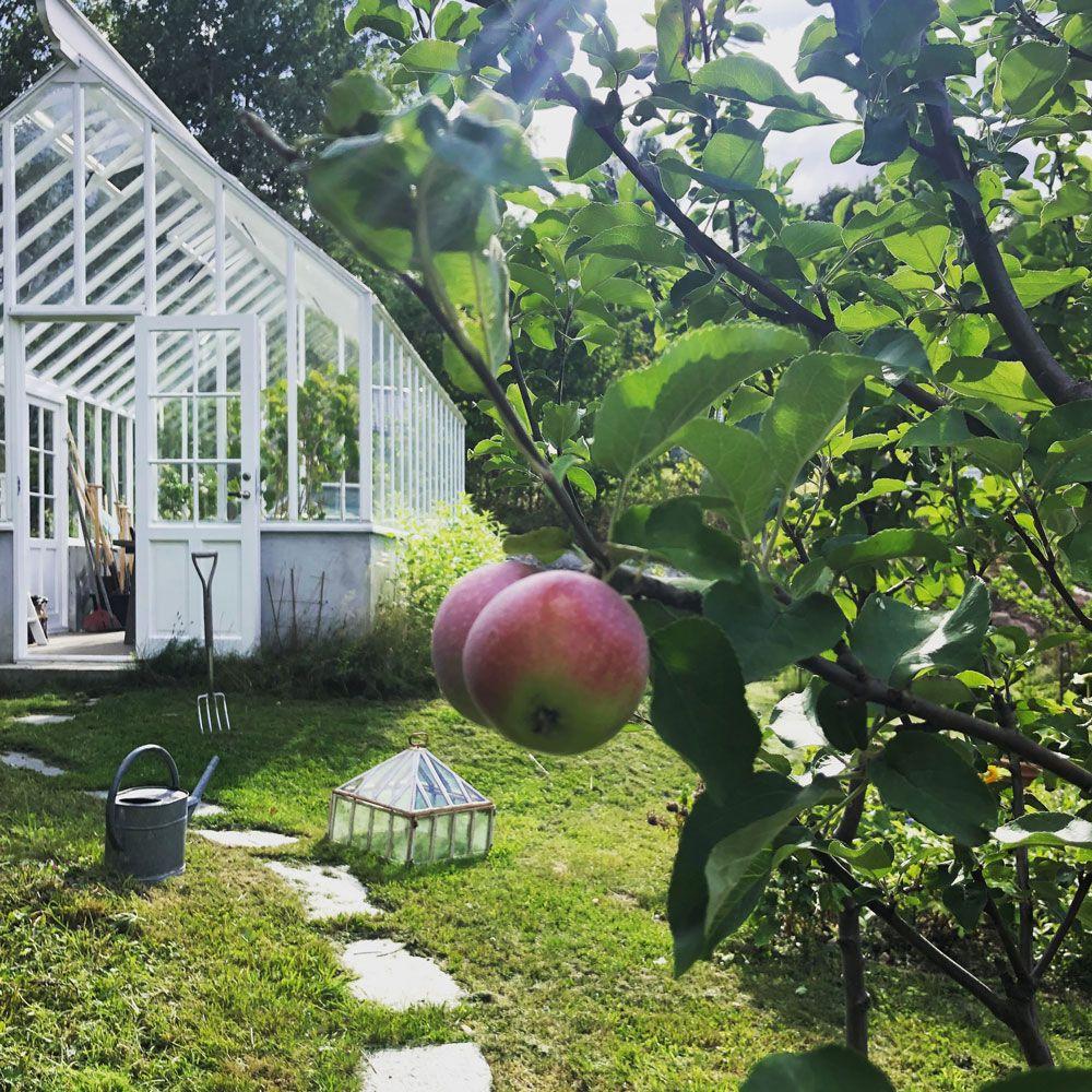 Vitt växthus med sadeltak bakom mogna äpplen.