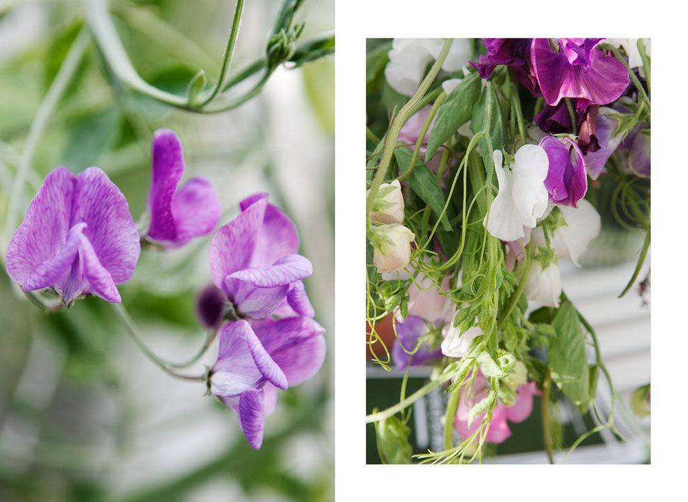 Luktärter i vas och på buske i växthuset.