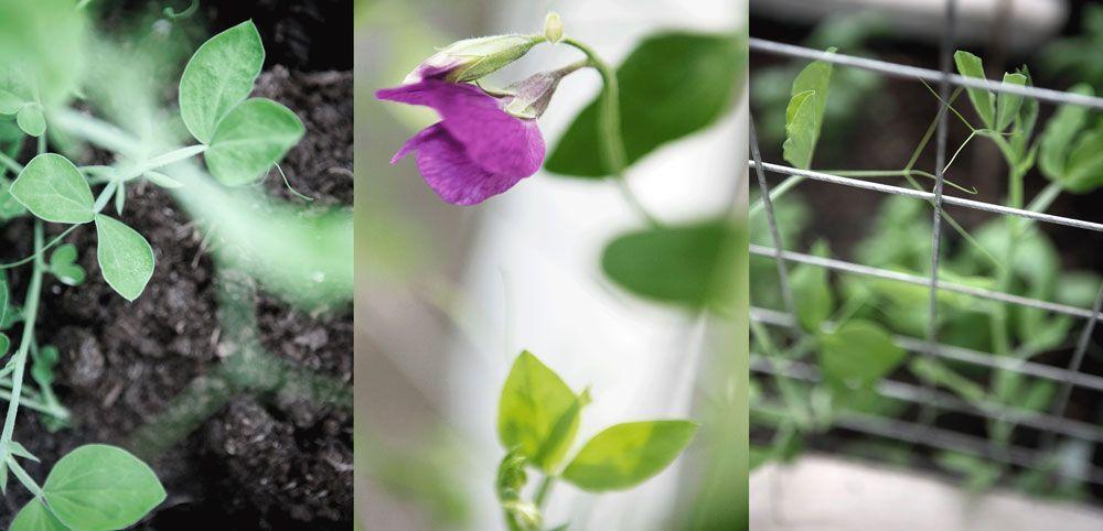Luktärtsplantor i växthus.