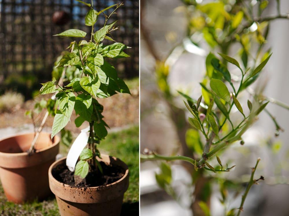 Kiwiplanta och citronträd.