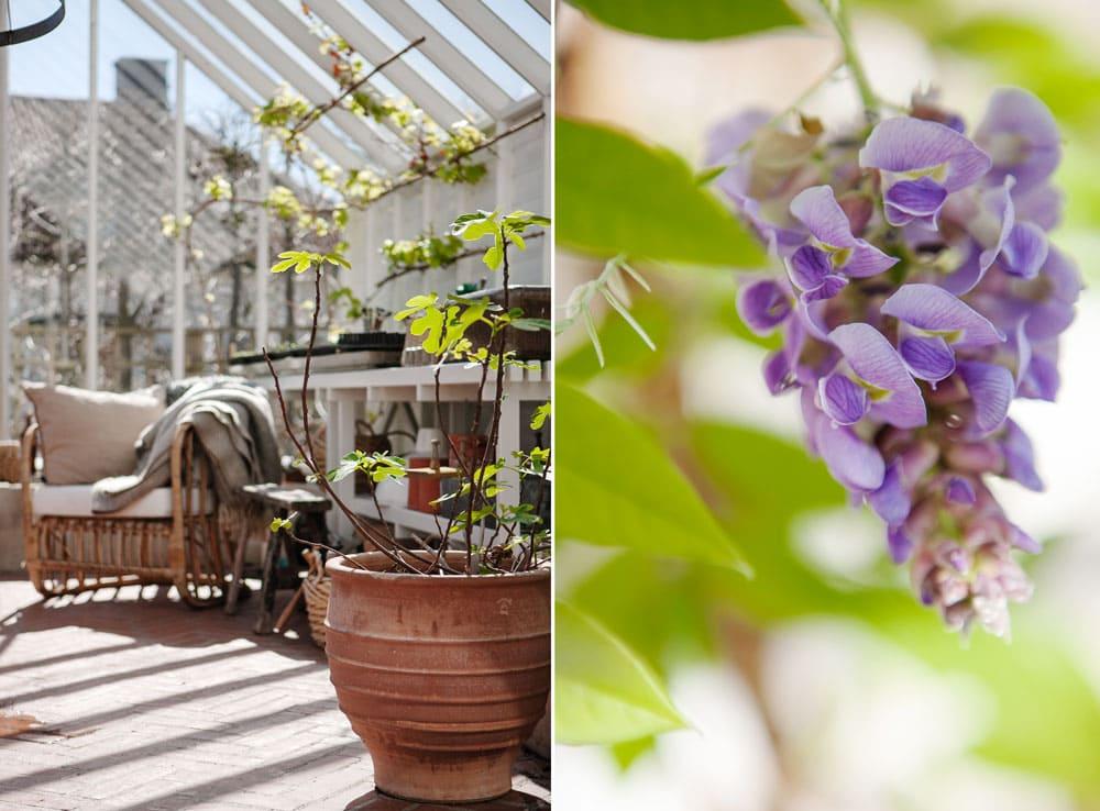 Växthuinteriör och blommande blåregn.