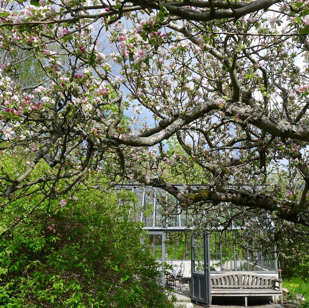 Äppelträd i blom framför växthuset.