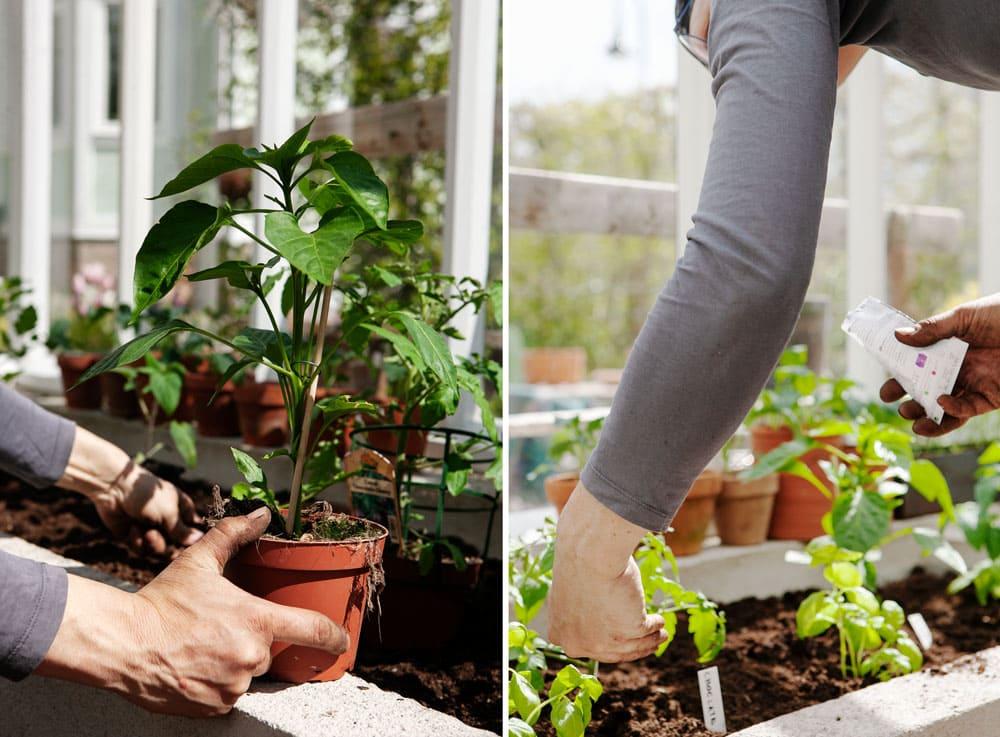 Kvinna planterar i växthus.