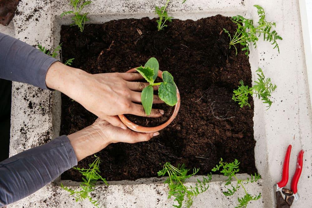Armar som är på väg att plantera gurkplanta i växthus.